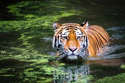 虎のいる風景