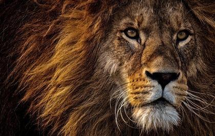 たくましいライオン