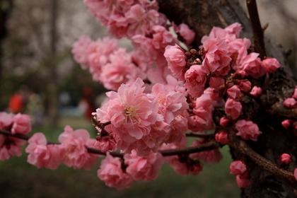 咲き誇る梅