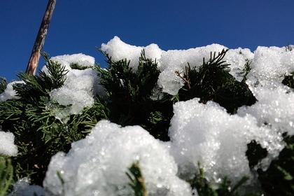 松に積もる雪