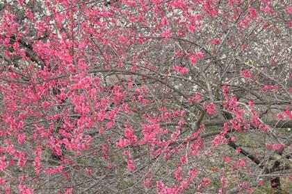 梅の花の木