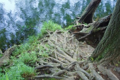 複雑に成長した木の根