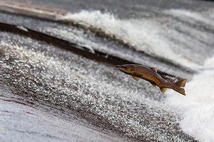 川を上る鮭