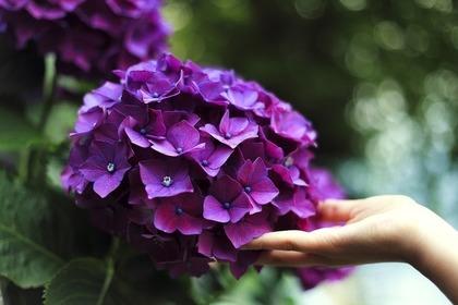 手を添えられた紫のアジサイ