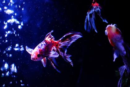 元気に泳ぐ金魚