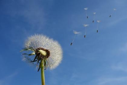 たんぽぽと風