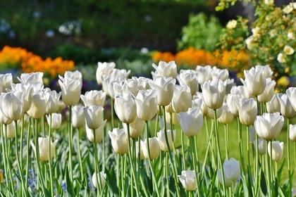 花畑に咲く白のチューリップ
