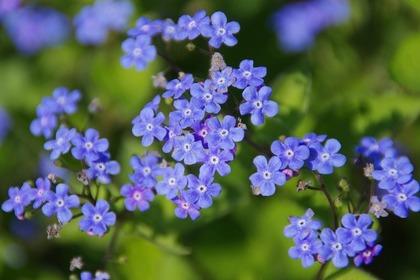 野原に咲くワスレナグサ