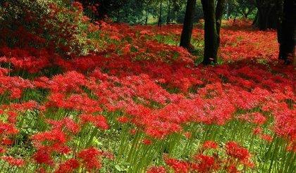 群生する赤いヒガンバナ
