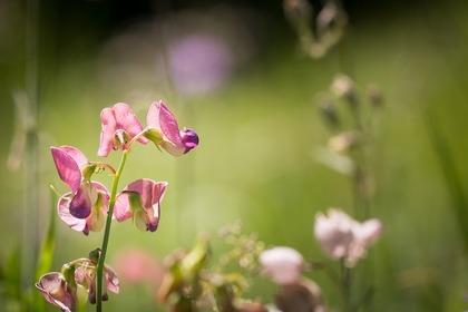 野原に咲くピンクのスイトピー