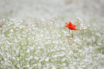 群生するカスミソウの花