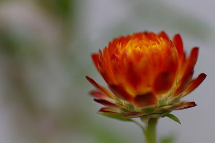 ヘリクリサムの花