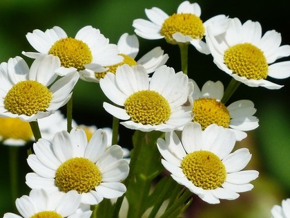 群生するマトリカリアの花