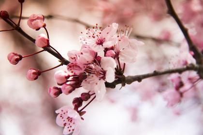桜のつぼみと咲いている花