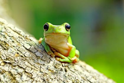 緑色のカエル