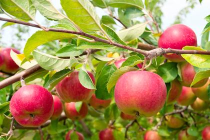 しりとりのスタート代表はリンゴ