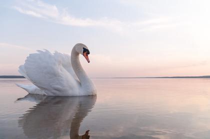 美しい白鳥