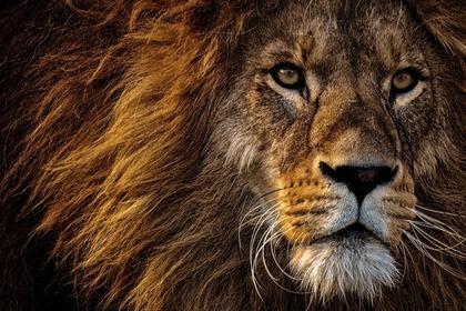 ライオンの雄姿