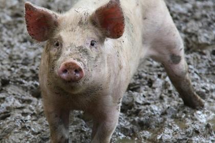 泥の中でたたずむ豚