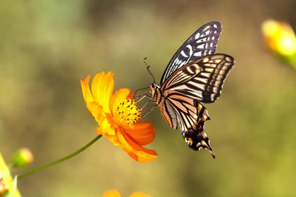 オレンジのコスモスに留まったアゲハ蝶